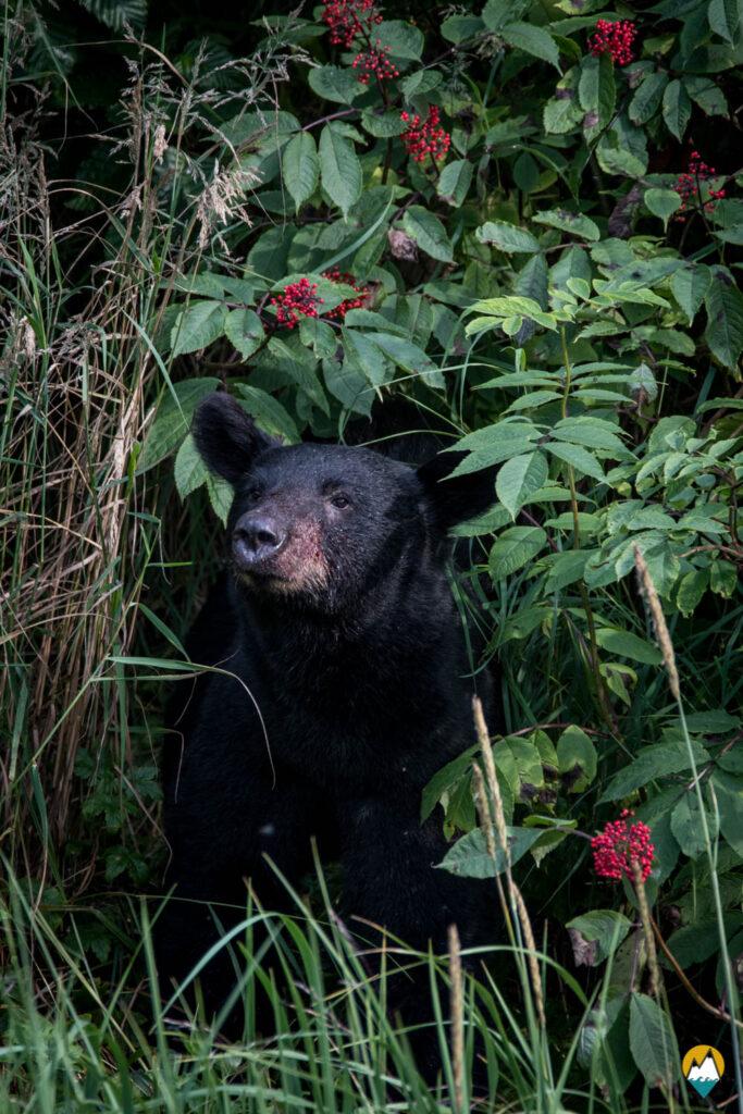 Wild - Ours Noir- Le Monde de Tikal